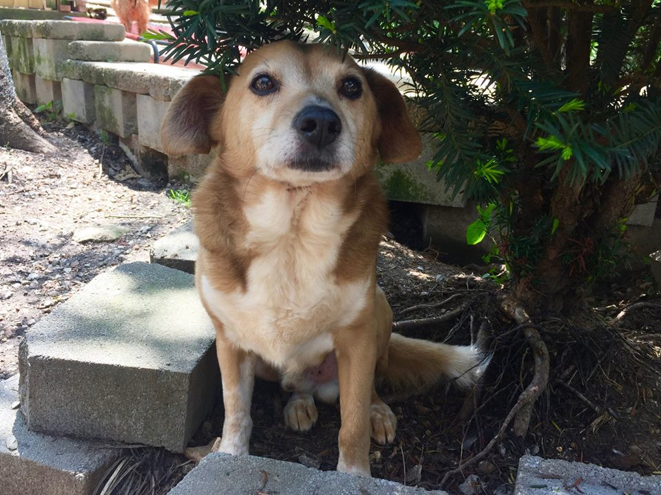 Toby-Small Dog For Forever Foster-Old Friends Senior Dog Sanctuary