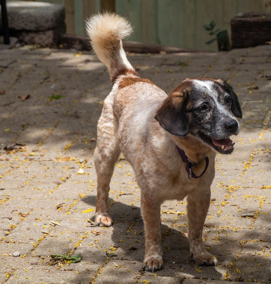 Jake-Small Dog for Forever Foster-Old Friends Senior Dog Sanctuary