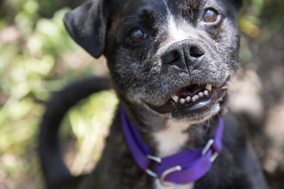 Jax-Small Dog for Forever Foster-Old Friends Senior Dog Sanctuary