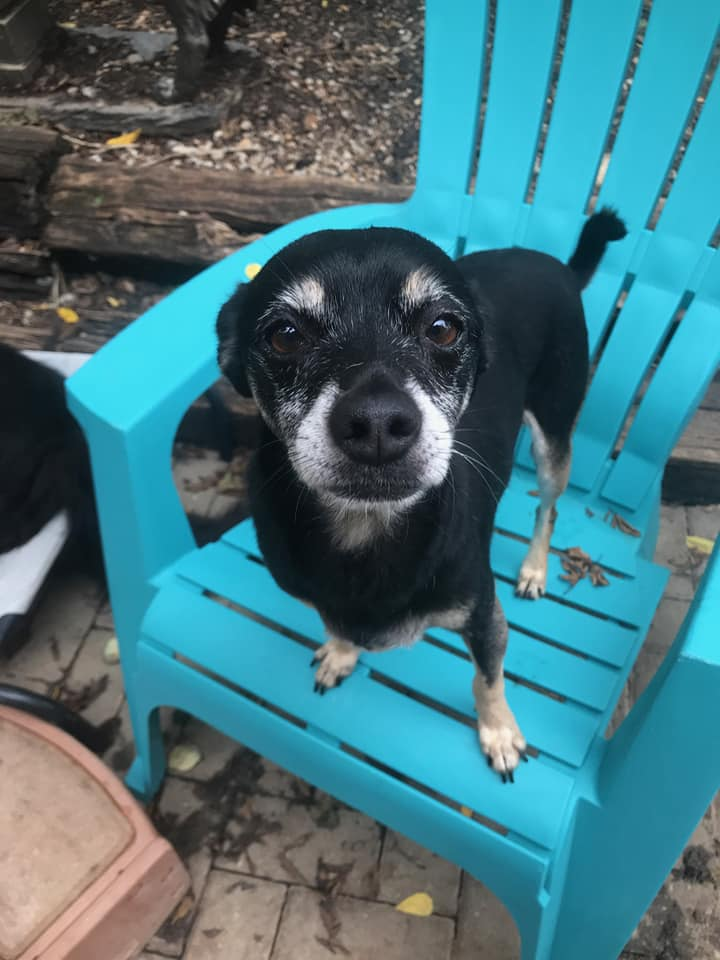Herbie-Small Dog for Forever Foster-Old Friends Senior Dog Sanctuary