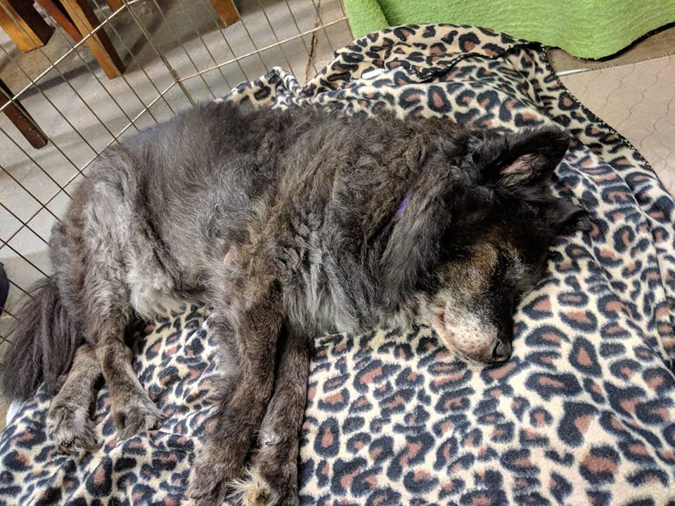 Mattie-Small Dog for Forever Foster-Old Friends Senior Dog Sanctuary