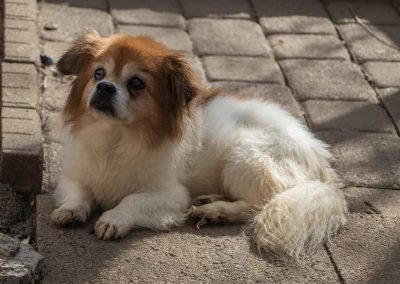 Benji-Blind or Mostly Blind Dog Forever Foster