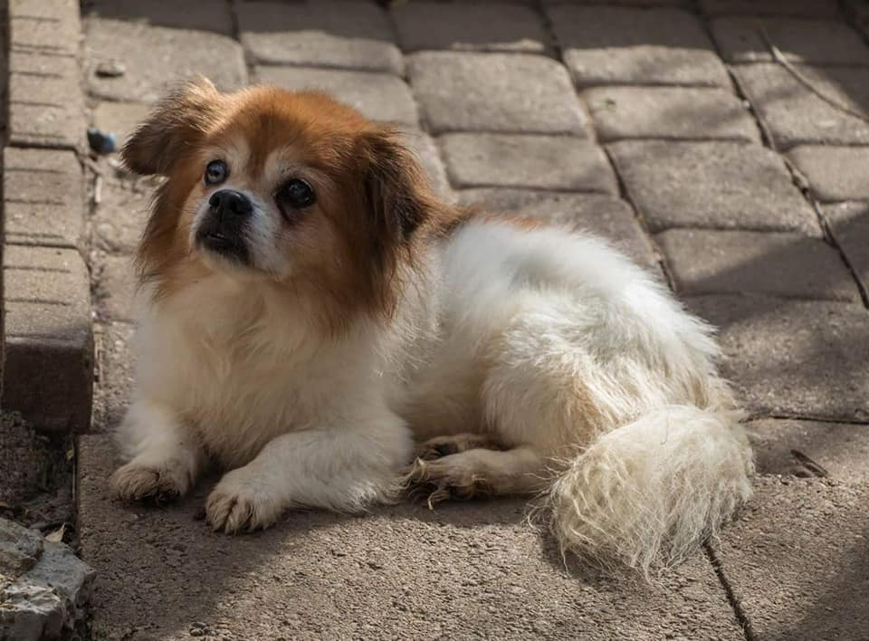 Benji-Blind or Mostly Blind Dog for Forever Foster-Old Friends Senior Dog Sanctuary