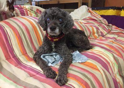 Caroline-Blind or Mostly Blind Dog Forever Foster