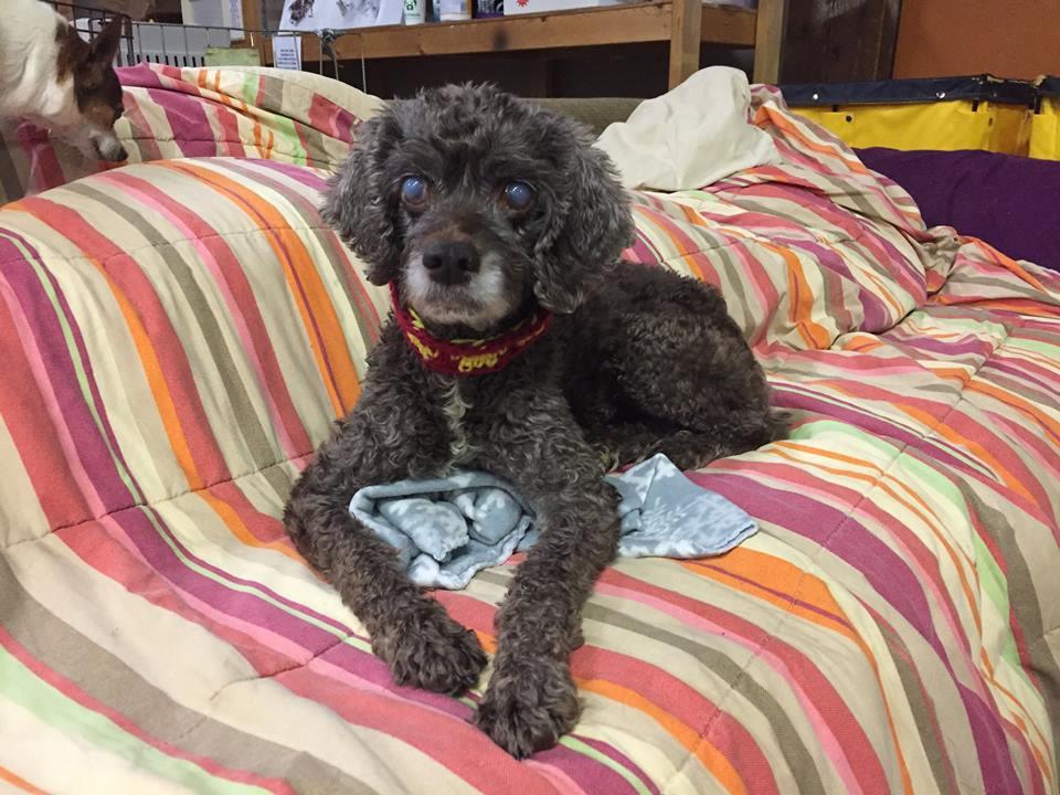Caroline-Blind or Mostly Blind Dog for Forever Foster-Old Friends Senior Dog Sanctuary
