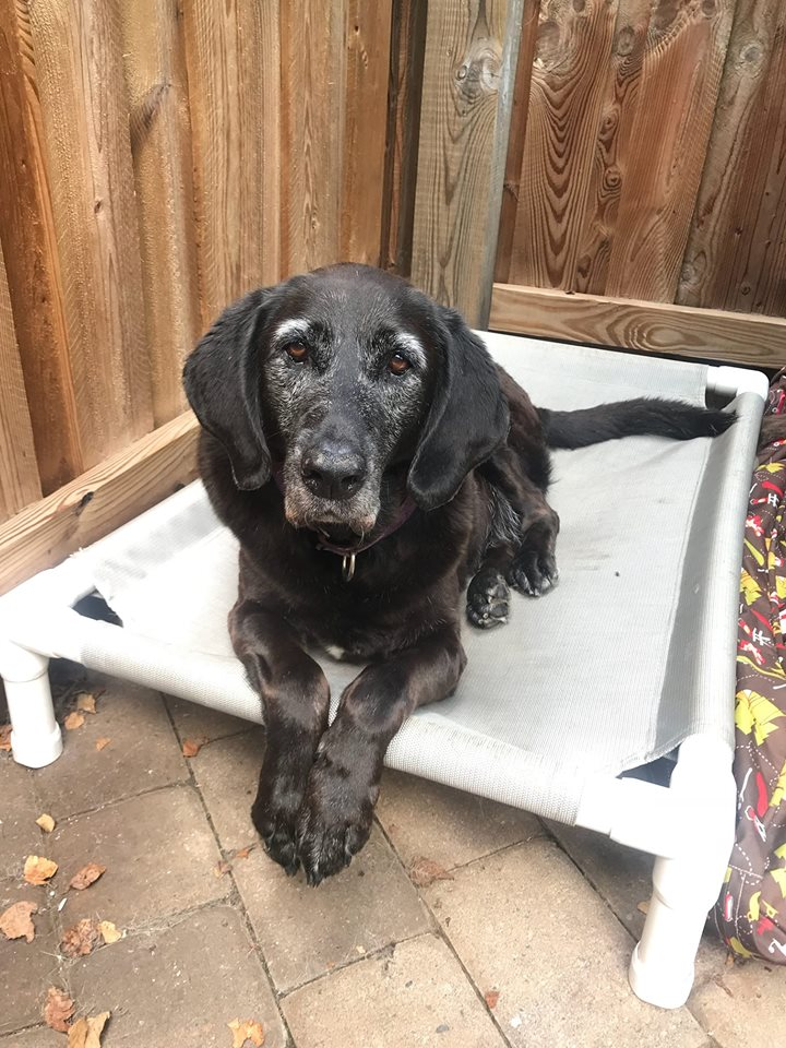 Cassie-Big Dog for Forever Foster-Old Friends Senior Dog Sanctuary