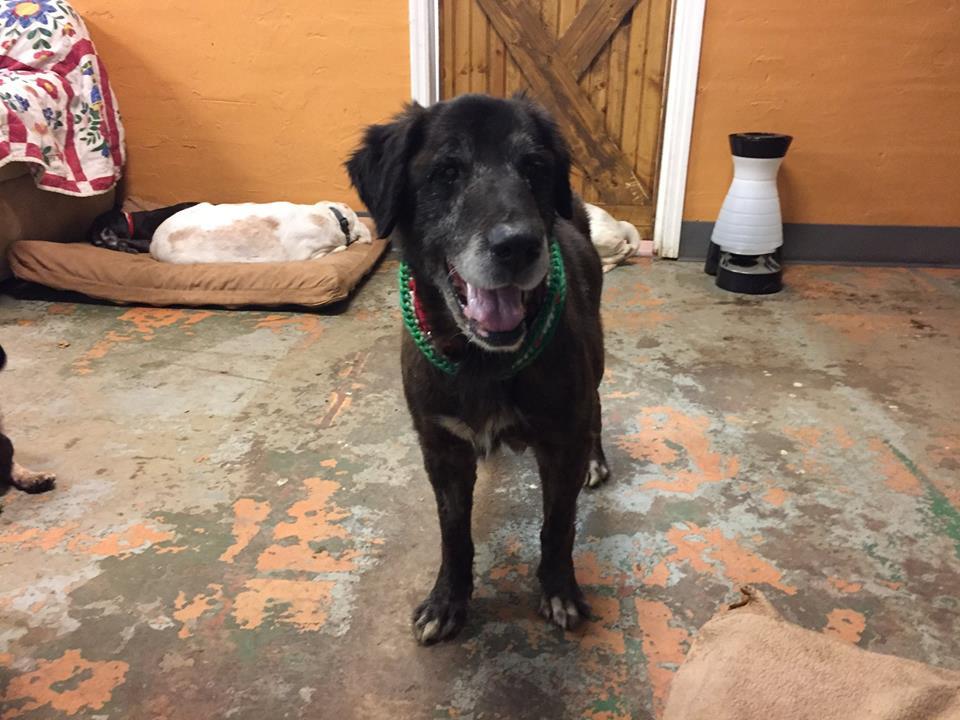 Grady-Big Dog for Forever Foster-Old Friends Senior Dog Sanctuary