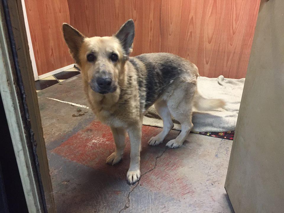 Judy-Big Dog for Forever Foster-Old Friends Senior Dog Sanctuary