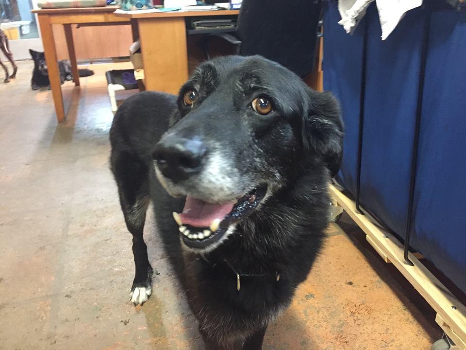 Marigold-Big Dog for Forever Foster-Old Friends Senior Dog Sanctuary