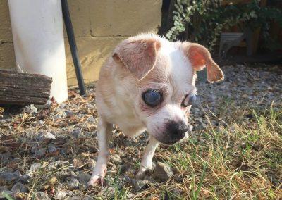 Nina-Blind or Mostly Blind Dog Forever Foster