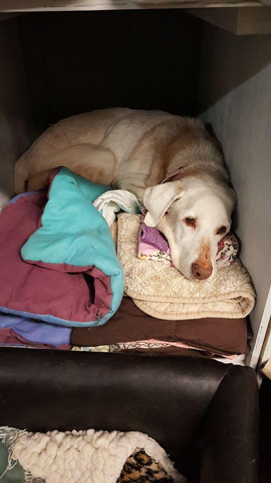 Penny-Big Dog for Forever Foster-Old Friends Senior Dog Sanctuary