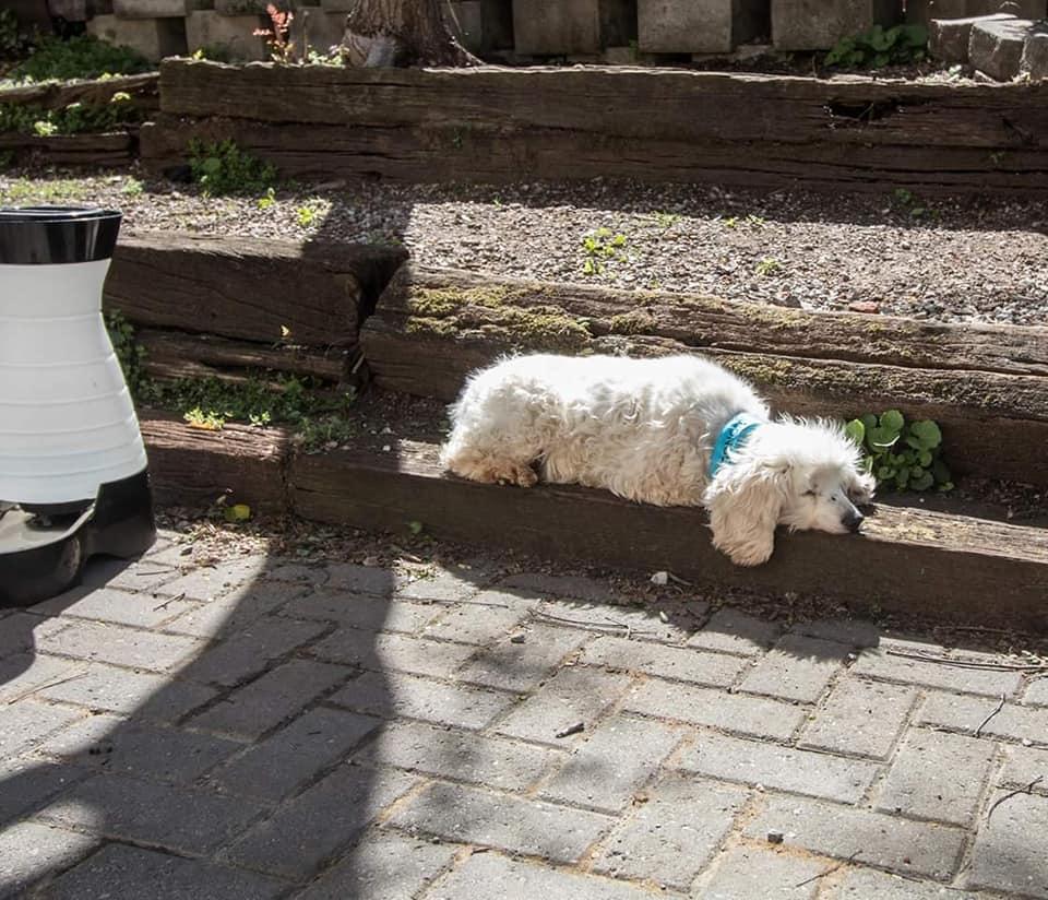 Ponce de Leon-Blind or Mostly Blind Dog for Forever Foster-Old Friends Senior Dog Sanctuary