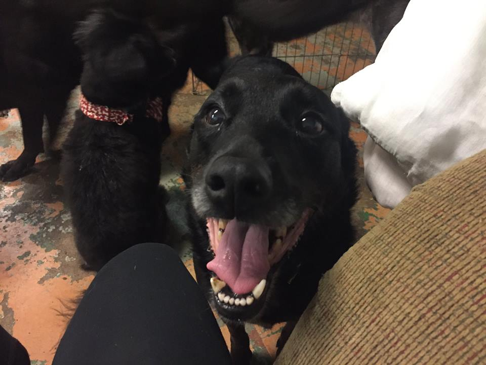 Sadie-Big Dog for Forever Foster-Old Friends Senior Dog Sanctuary