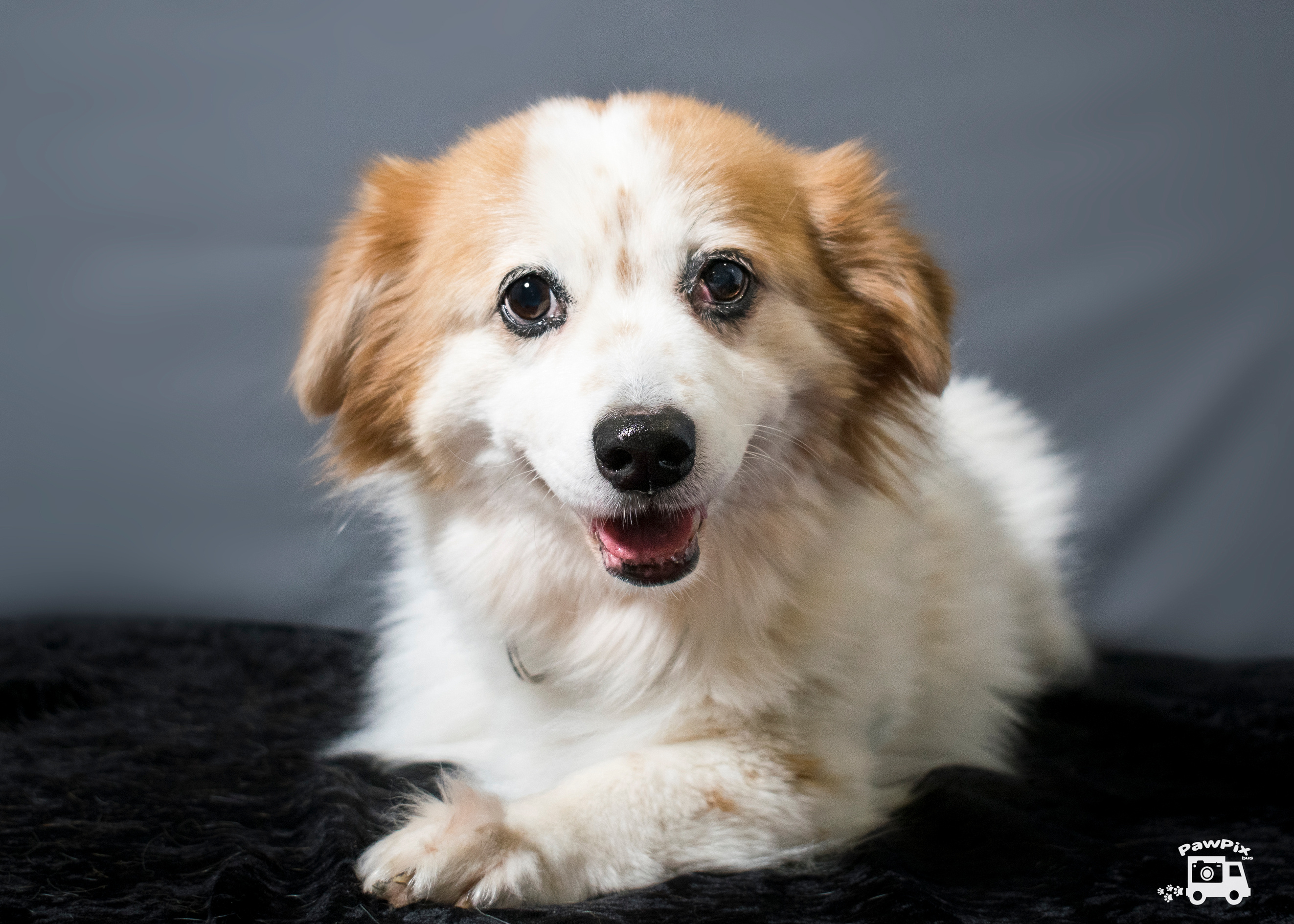 Tinker-Small Dog for Forever Foster-Old Friends Senior Dog Sanctuary