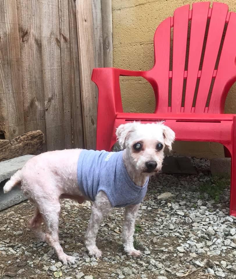 Abner-Small Dog for Forever Foster-Old Friends Senior Dog Sanctuary