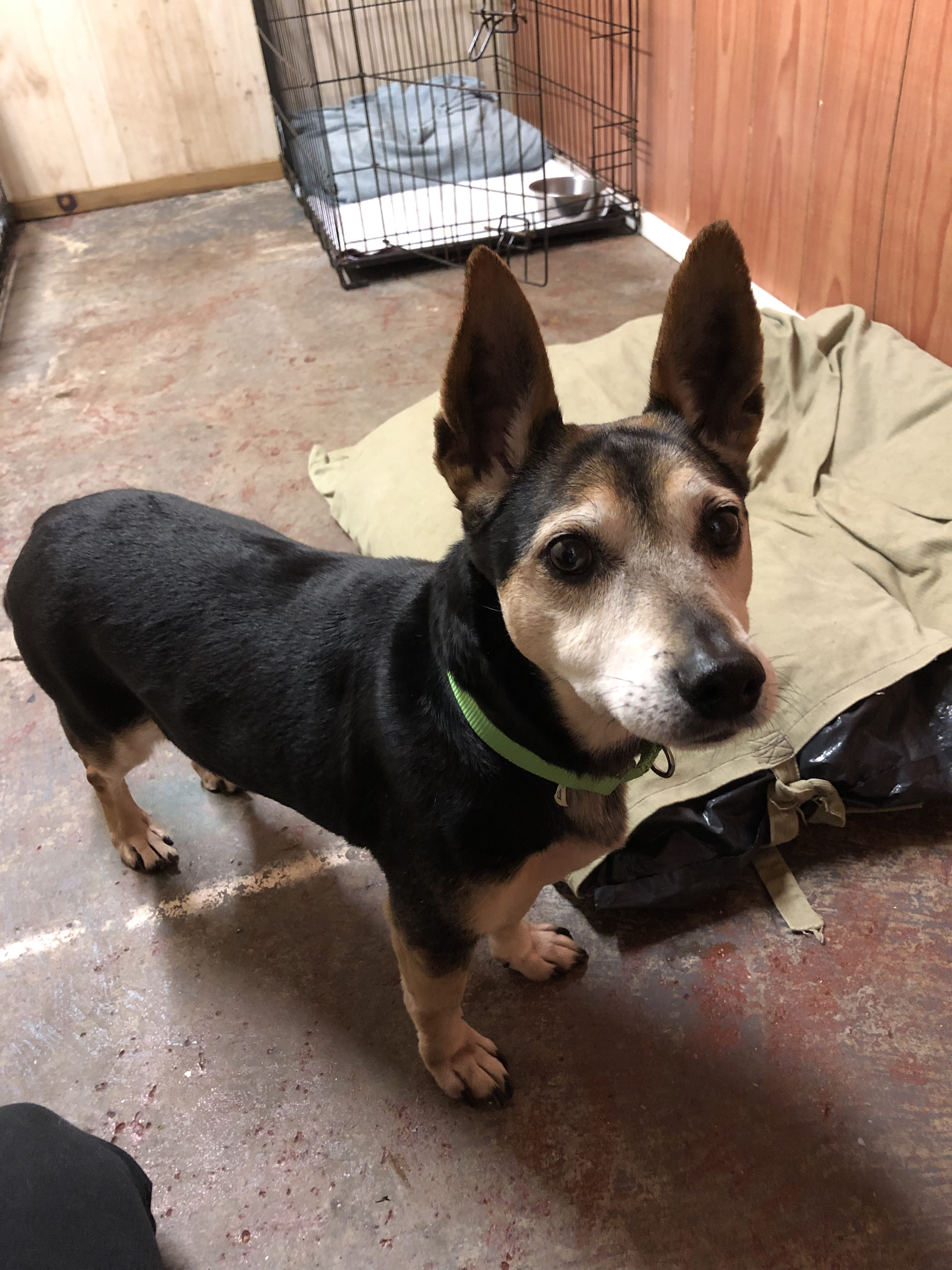 Abner-Small Dog for Forever Foster-Old Friends Senior Dog Sanctuary